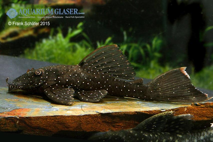 Ancistrus sp. L181 Rio Negro 3