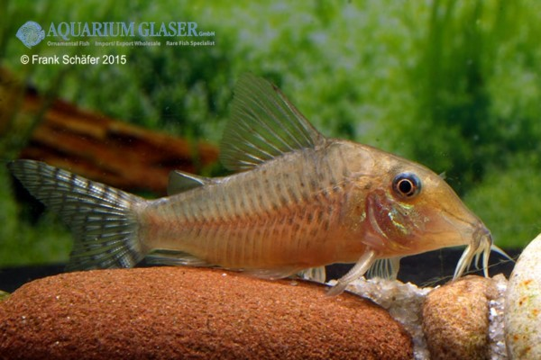sehhr hell - Quelle: Aquarium Glaser