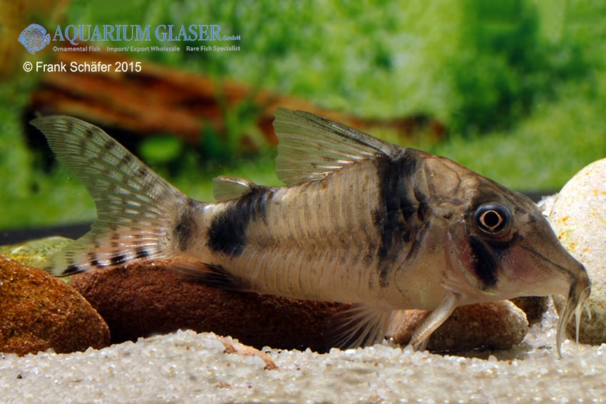 Corydoras reynoldsi 1