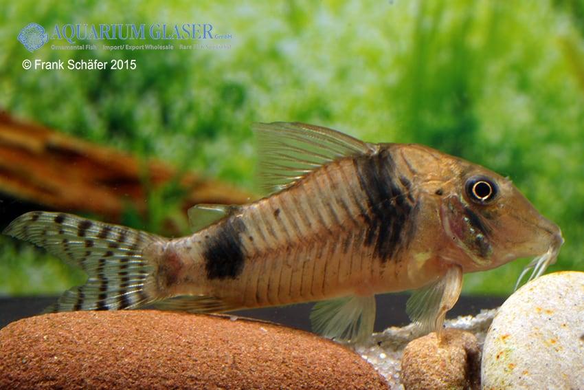 Longnose Corydoras : Corydoras reynoldsi - my-fish