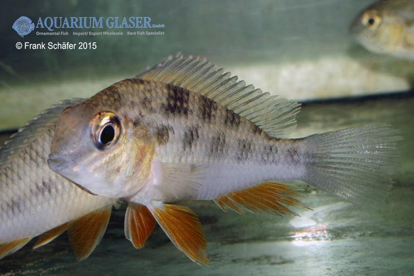 Crenicara cf. punctulatum Lake Tapana 2