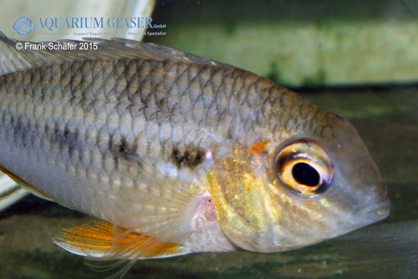 Crenicara cf. punctulatum Lake Tapana 1