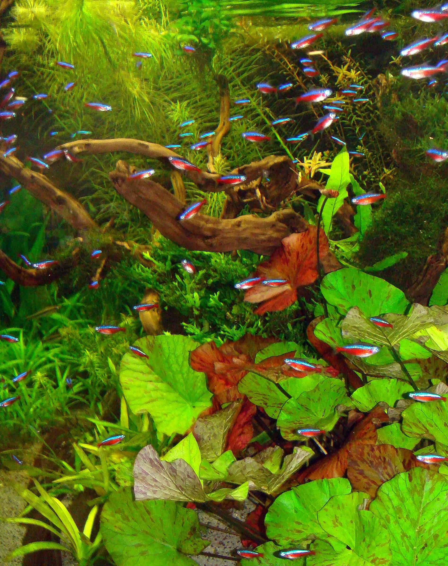 """Foto: FLH. - Übermäßiges Reinigen ist nicht gut für das Biosystem Aquarium. """"Ein Ansetzen an den richtigen Problemstellen sorgt oftmals besser dafür, dass das natürliche Gleichgewicht sich schon von selbst findet"""", empfiehlt Zierfischzüchter Peter Merz."""