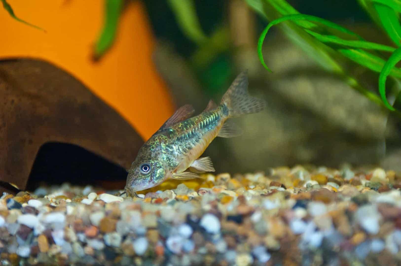 Kein Durchblick im Aquarium? Diese Putzer helfen bei Algenproblemen 2