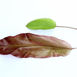 Echinodorus ´Green Chamäleon´ 3