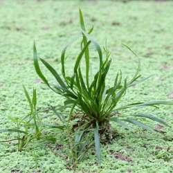 Helanthium bolivianum ´Angustifolius´ 1