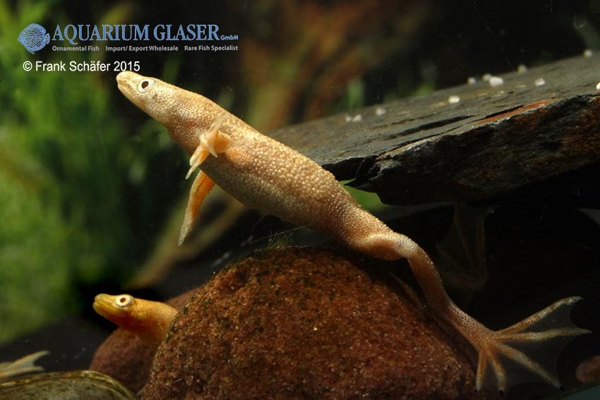 Hymenochirus boettgeri Gold-Albino 2