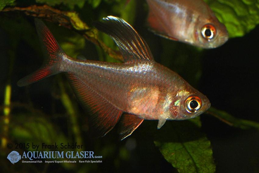 Hyphessobrycon jackrobertsi 1