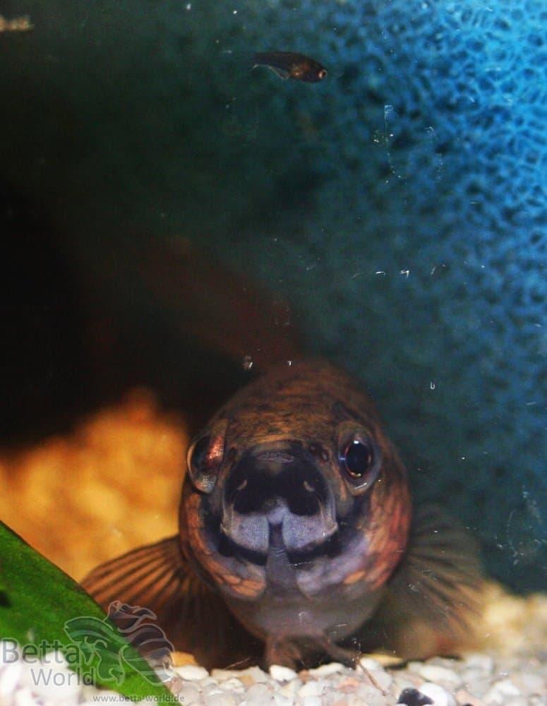 Betta unimaculata - Schlanker Riesenkampffisch 1