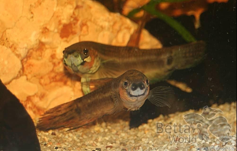 Betta unimaculata - Schlanker Riesenkampffisch 2