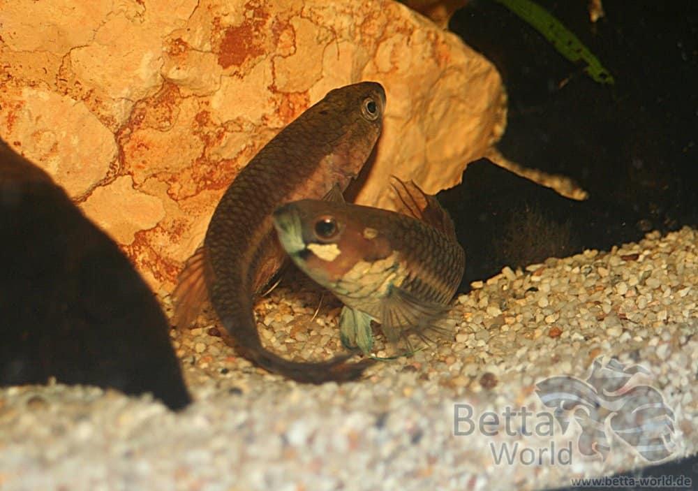 Betta unimaculata - Schlanker Riesenkampffisch 3