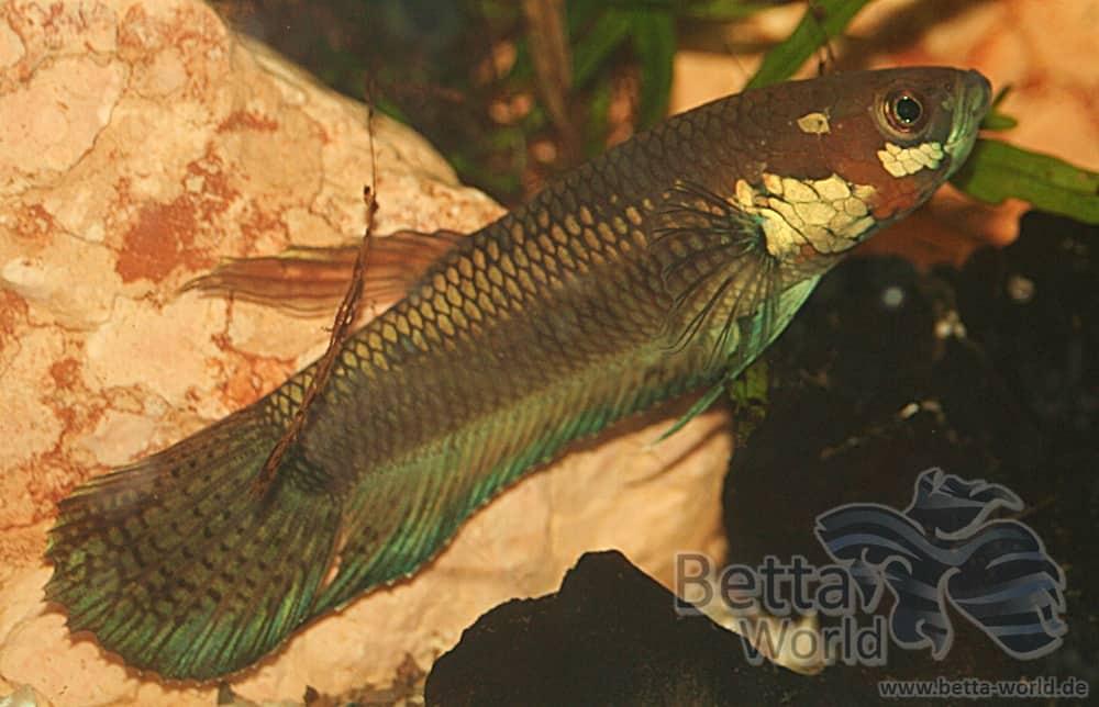 Betta unimaculata - Schlanker Riesenkampffisch 7