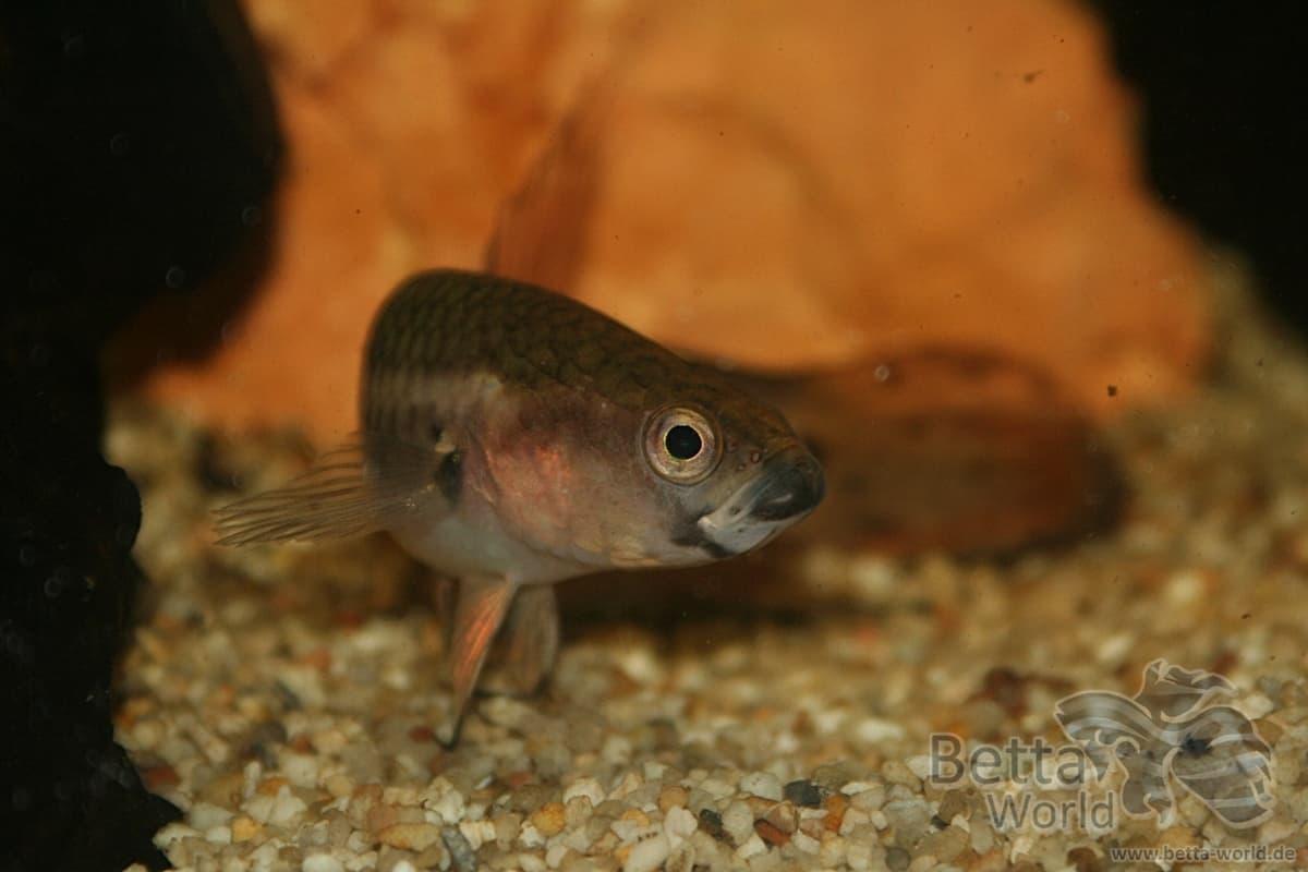 Betta unimaculata - Schlanker Riesenkampffisch 6