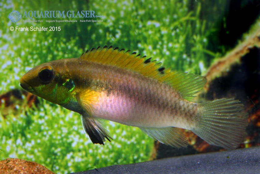 Pelvicachromis humilis dikinyah 9