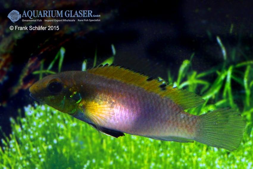 Pelvicachromis humilis dikinyah 8