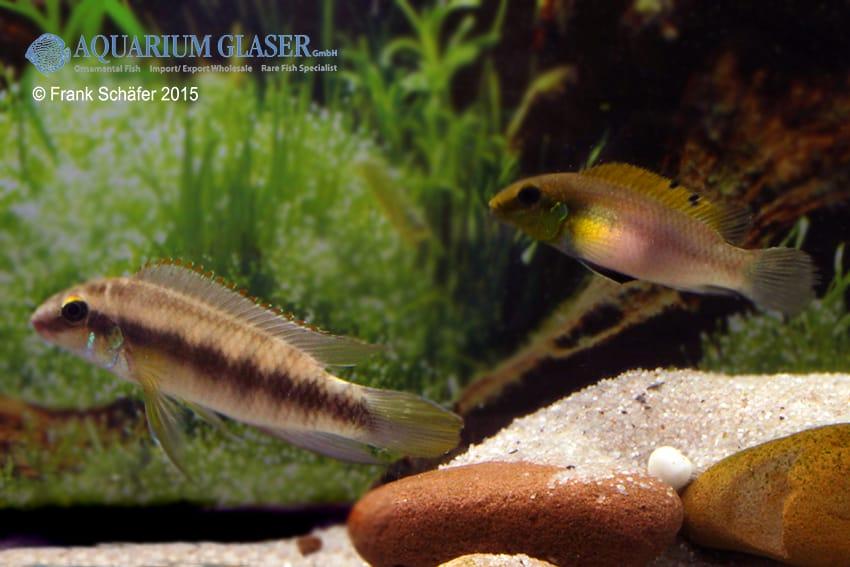 Pelvicachromis humilis dikinyah 6