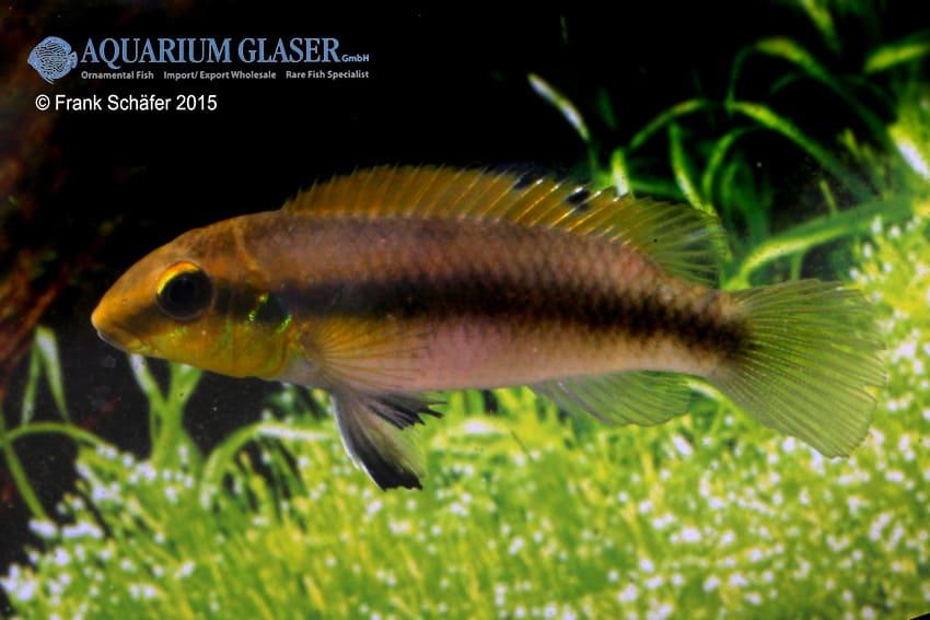 Pelvicachromis humilis dikinyah 5
