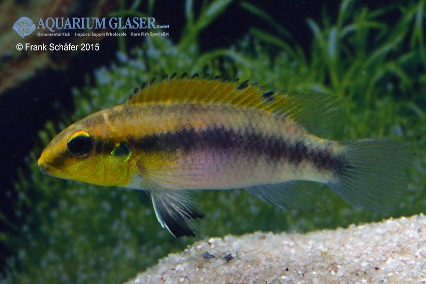 Pelvicachromis humilis dikinyah 7