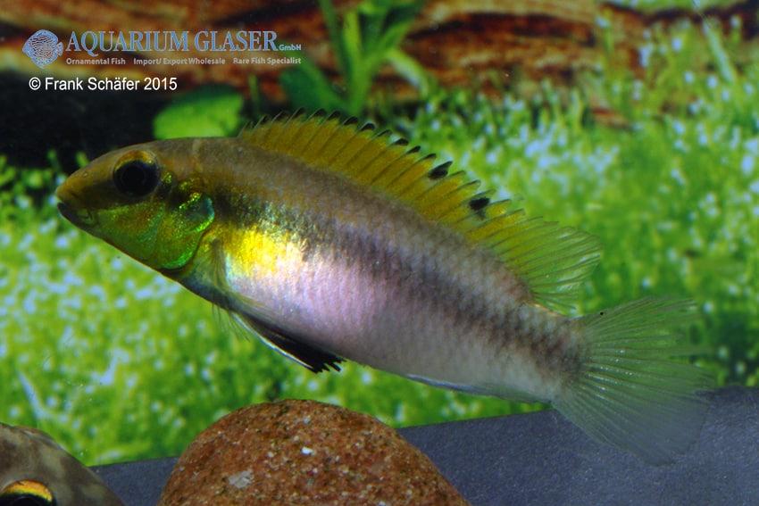 Pelvicachromis humilis dikinyah 4