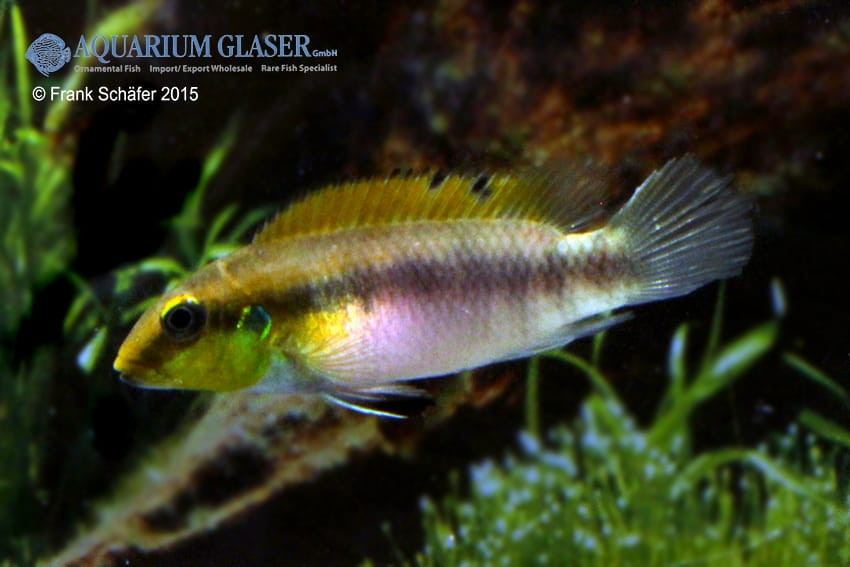 Pelvicachromis humilis dikinyah 3