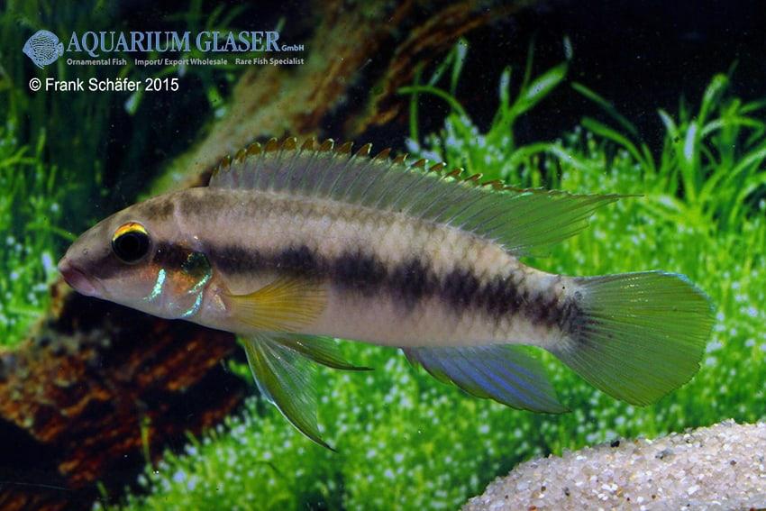 Pelvicachromis humilis dikinyah 2
