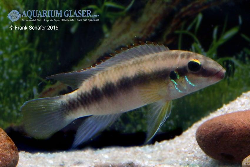 Pelvicachromis humilis dikinyah 1