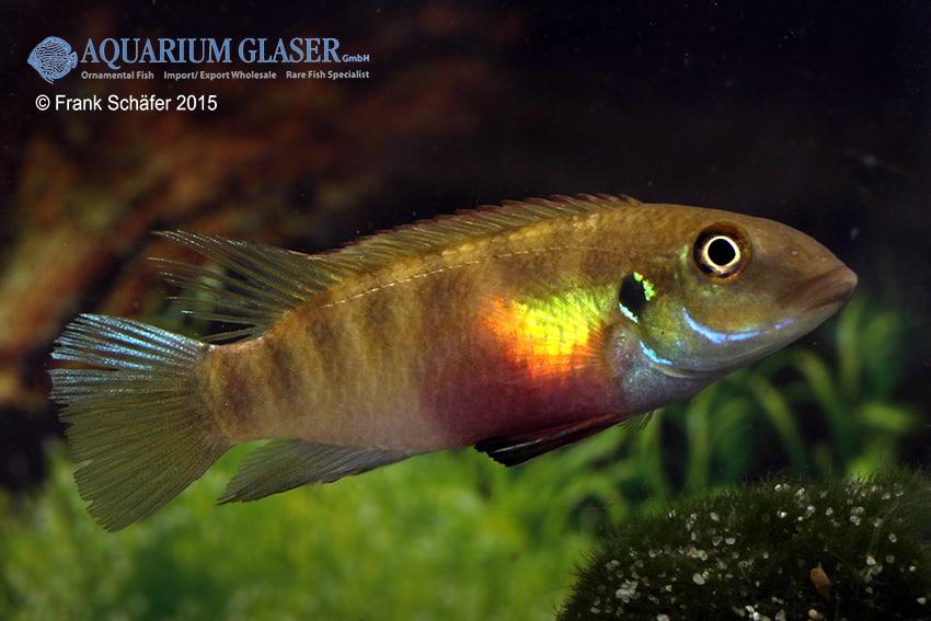 Pelvicachromis humilis LIBERIA RED 4