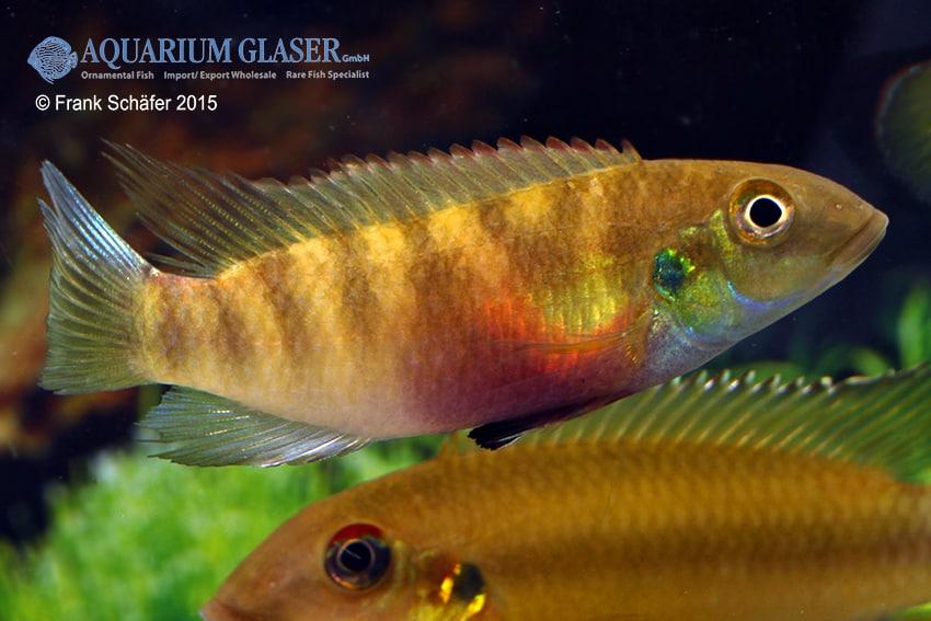 Pelvicachromis humilis LIBERIA RED 3