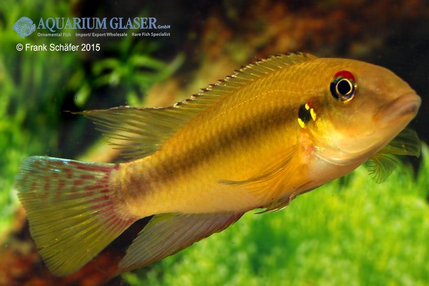 Pelvicachromis humilis LIBERIA RED 2