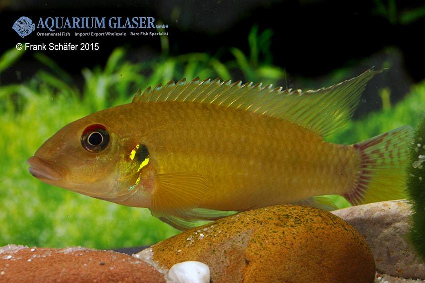 Pelvicachromis humilis LIBERIA RED 1