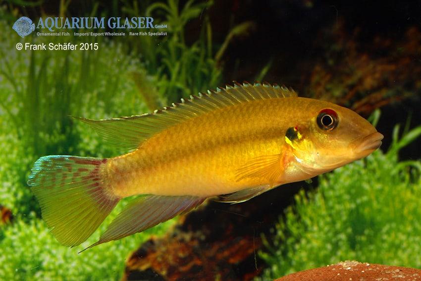 Männchen - Quelle: Aquarium Glaser