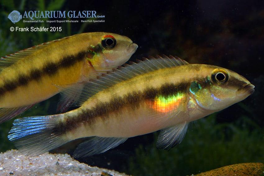 Pelvicachromis humilis SIERRA LEONE 3