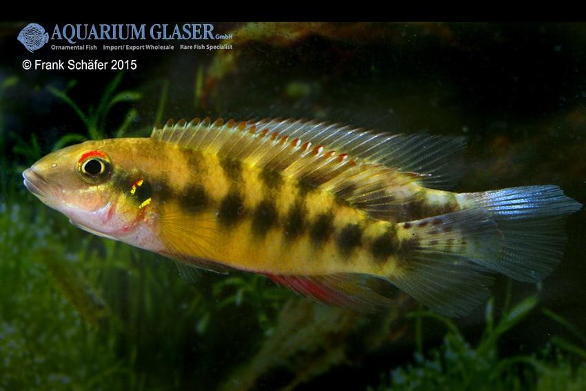 Pelvicachromis humilis SIERRA LEONE 2
