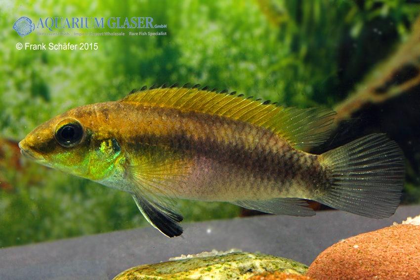 "Pelvicachromis humilis ""Falesade"" 2"