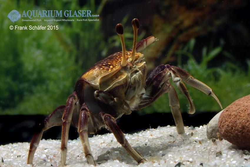 Weibchen - Quelle: Aquarium Glaser