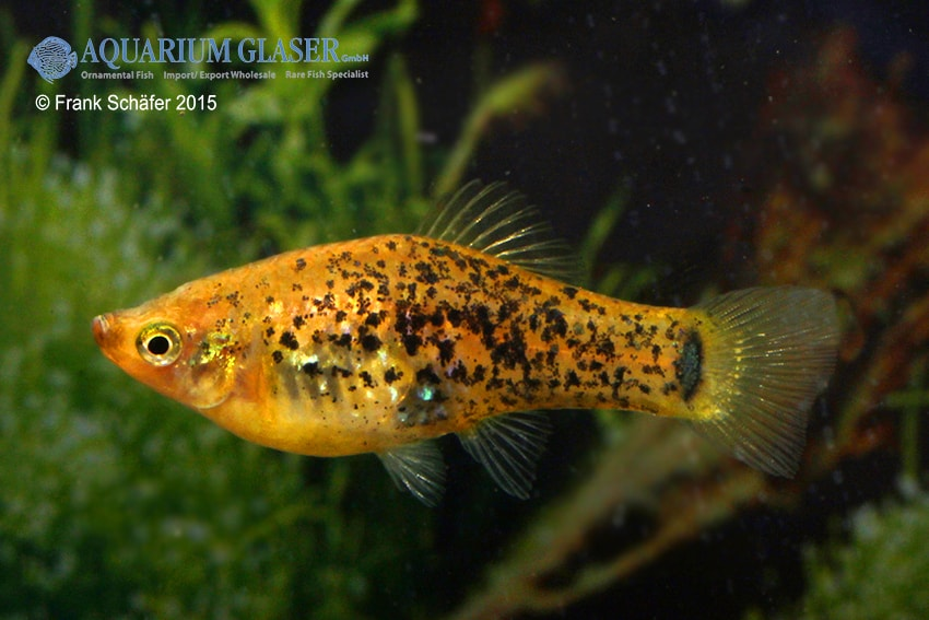 Xiphophorus milleri 2