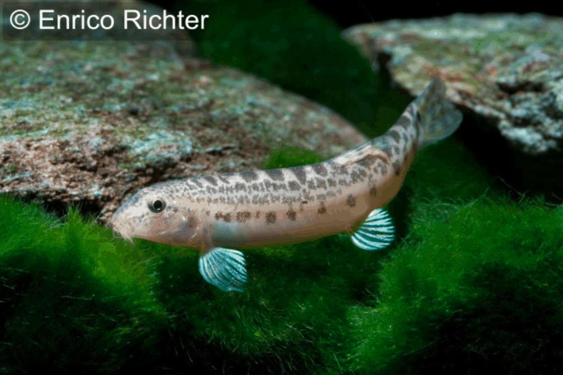 Lepidocephalichthys thermalis indischer steinbei er my for Robuste zierfische