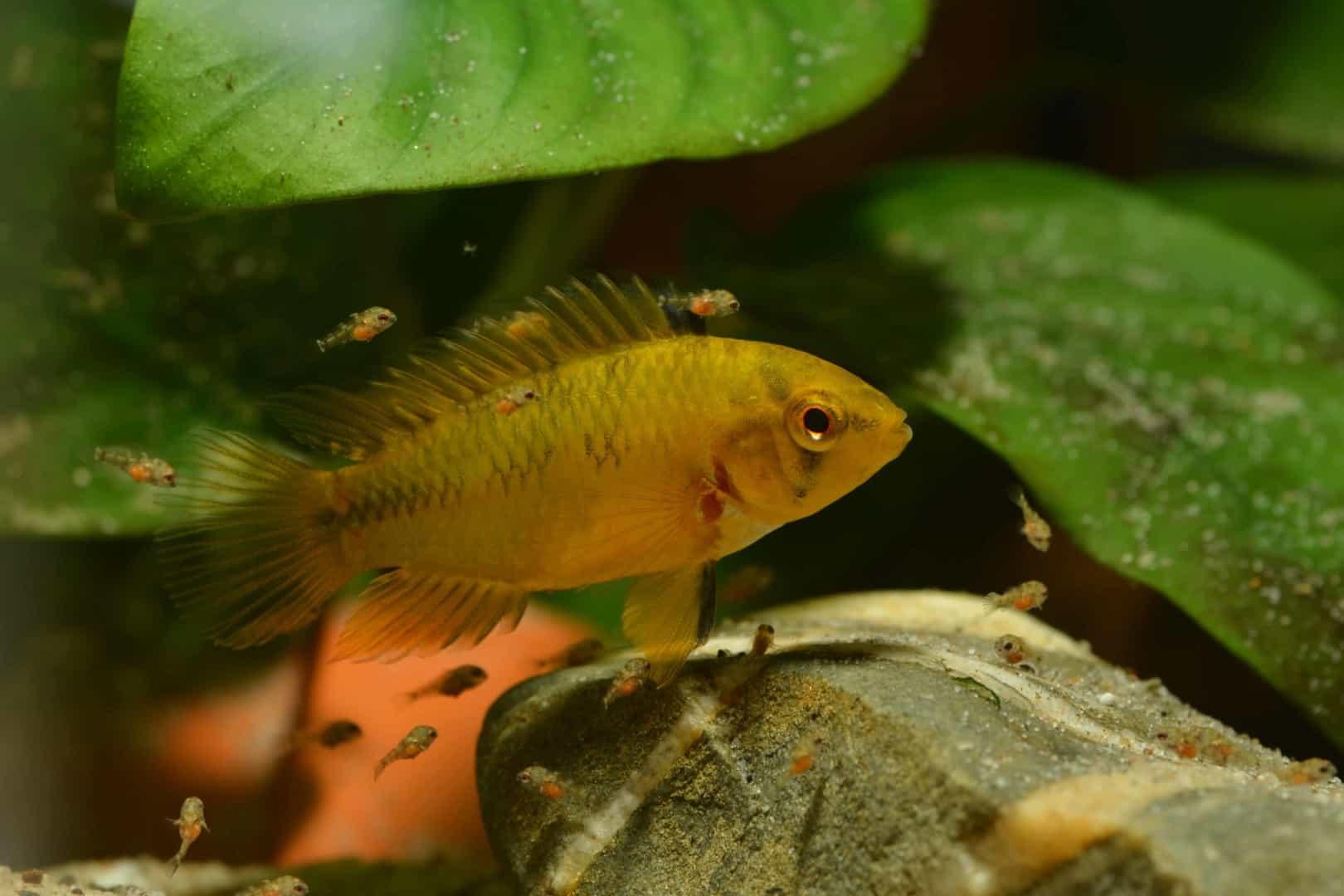 Fischnachwuchs aufziehen im Aufzuchtbecken oder Ablaichkasten 2