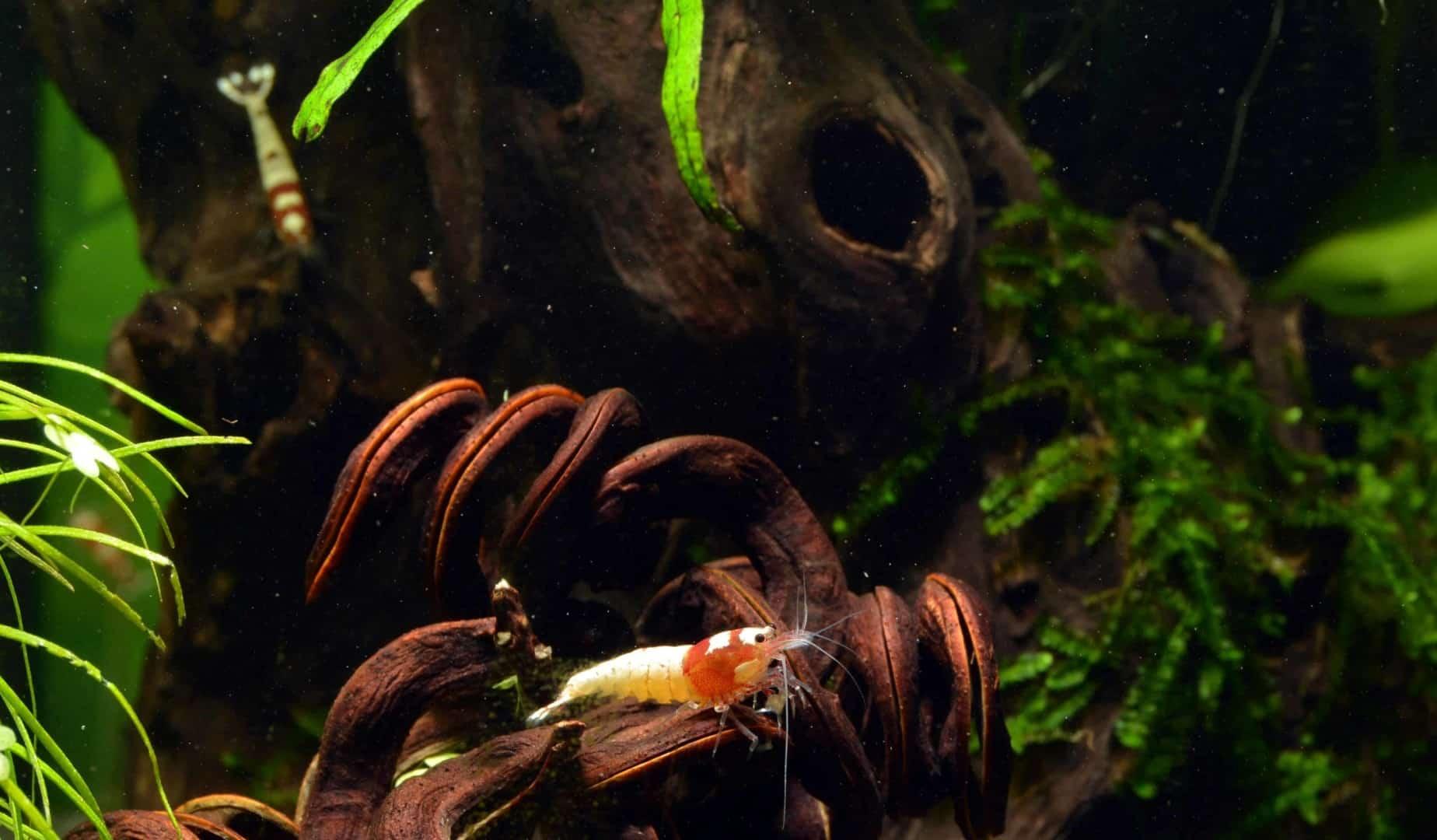 Wirbellose – Krebse, Garnelen und Schnecken 3