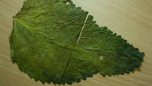 Morus sp. - Maulbeerbaum 4
