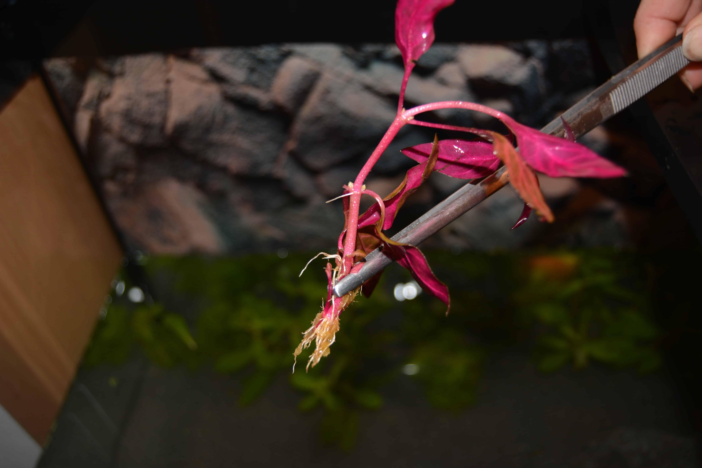 Berühmt Wasserpflanzen: Auswahl und Einsetzen - my-fish &MH_68