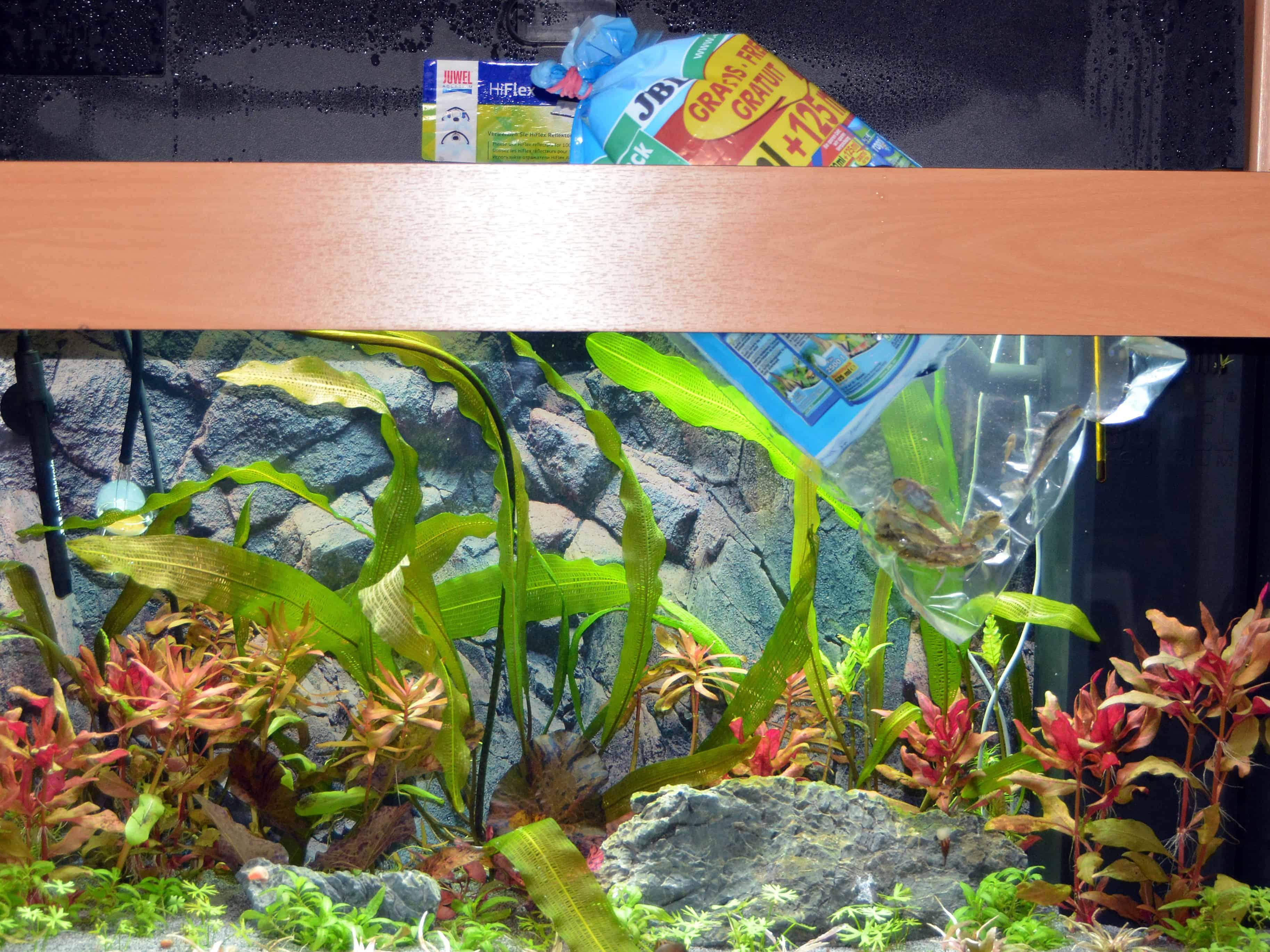 welche fische fressen schnecken best schnecken bekmpfung hauenstein rafz welche aquarium. Black Bedroom Furniture Sets. Home Design Ideas