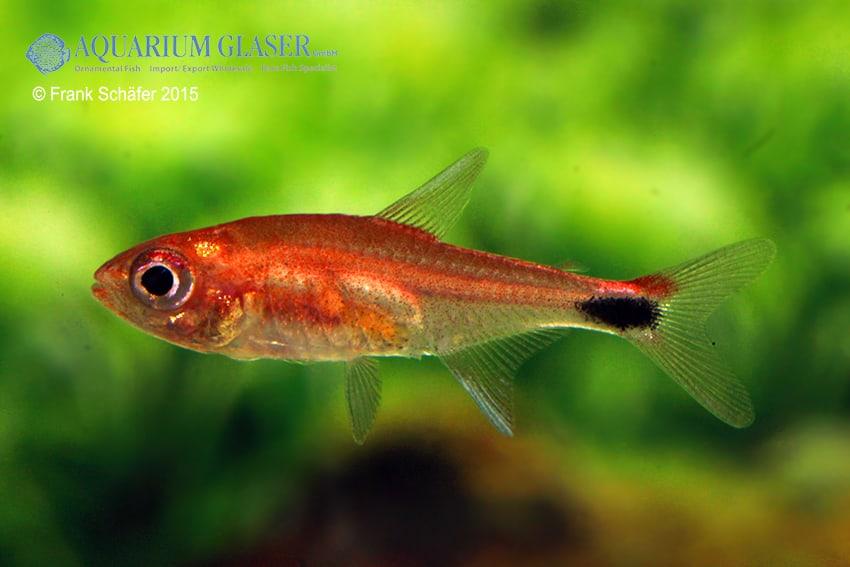 rot - Quelle: Aquarium Glaser