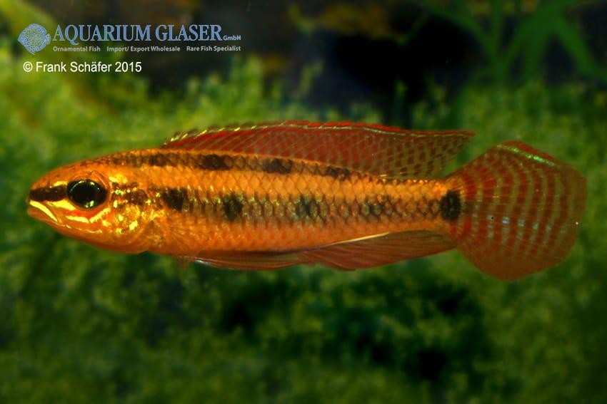 Dicrossus maculatus - Schachbrettcichliden 12