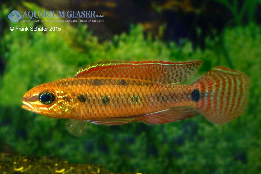 Dicrossus maculatus - Schachbrettcichliden 17
