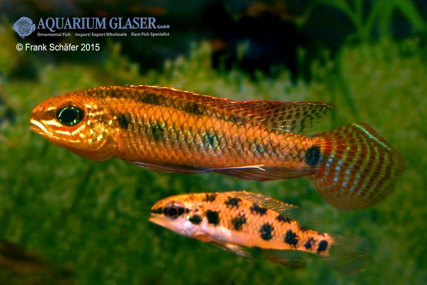 Dicrossus maculatus - Schachbrettcichliden 13