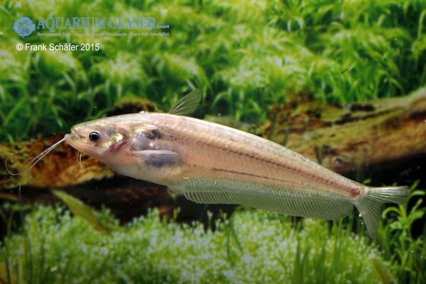 Ompok bimaculatus my fish for Speisefische im gartenteich