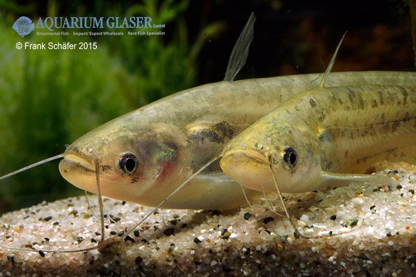 Ompok bimaculatus 2