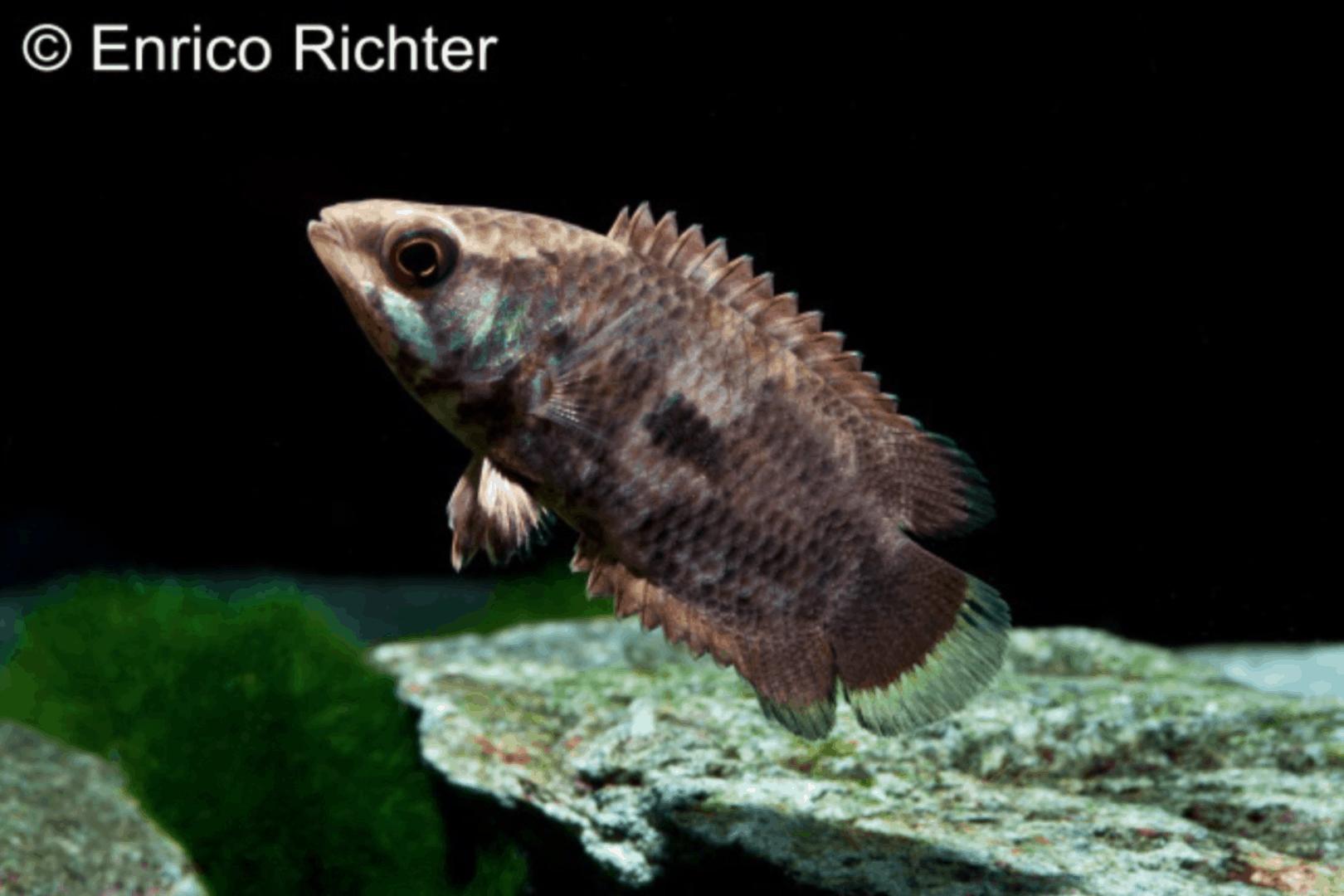 Ctenopoma weeksii - Pfauenaugen-Buschfisch 1