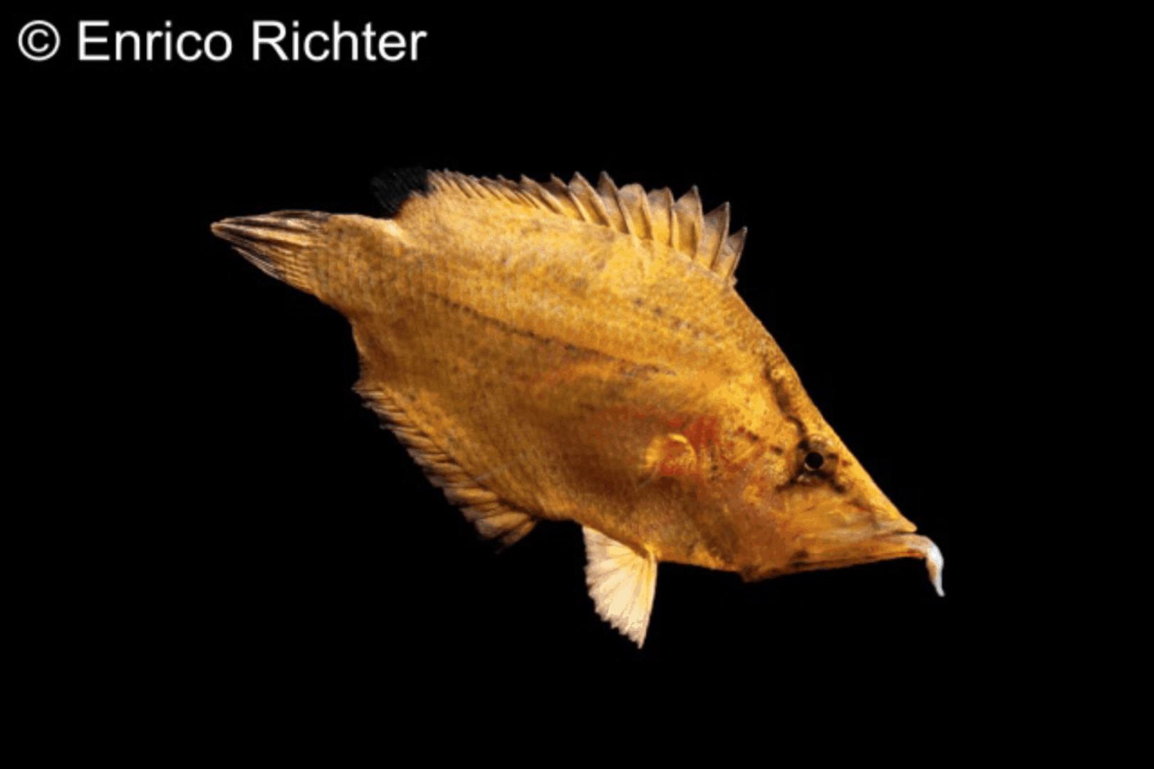 Monocirrhus polyacanthus - Blattfisch 2